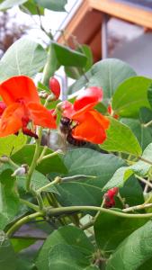 Bien auf Feuerbohnenblüte