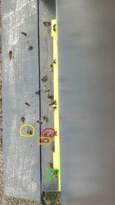 mehrere Bienen am Flugbrett ende März bei den Hammiets, als Beispiel wie man Volksstärke schätzen kann .