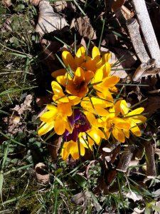 Bienen auf gelber Krokusblüte