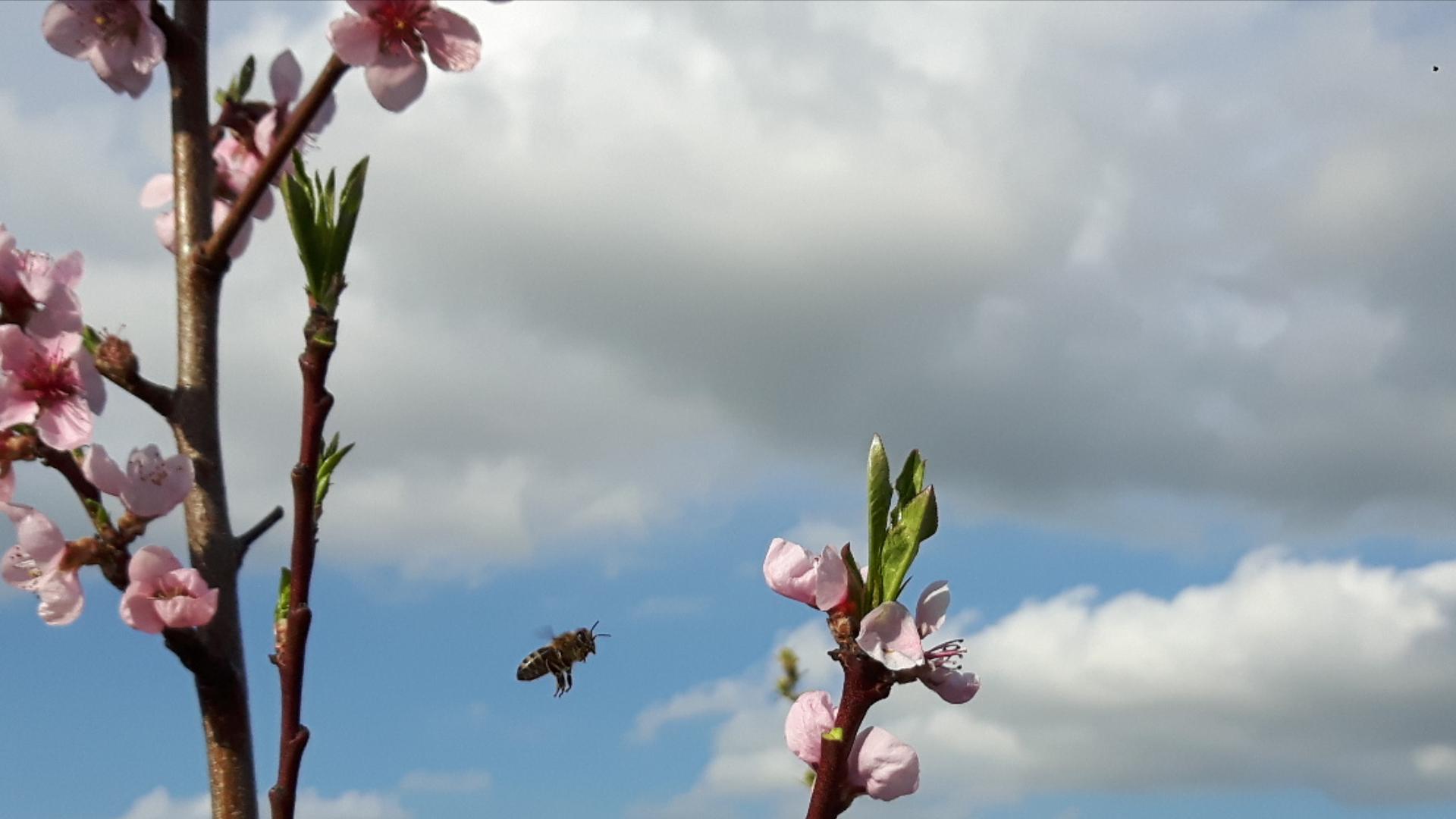 Stadtmauerhonigbiene auf dem Weg zur Nektarinenblüte
