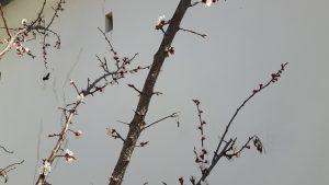 Holzbiene beim Marillenbaum