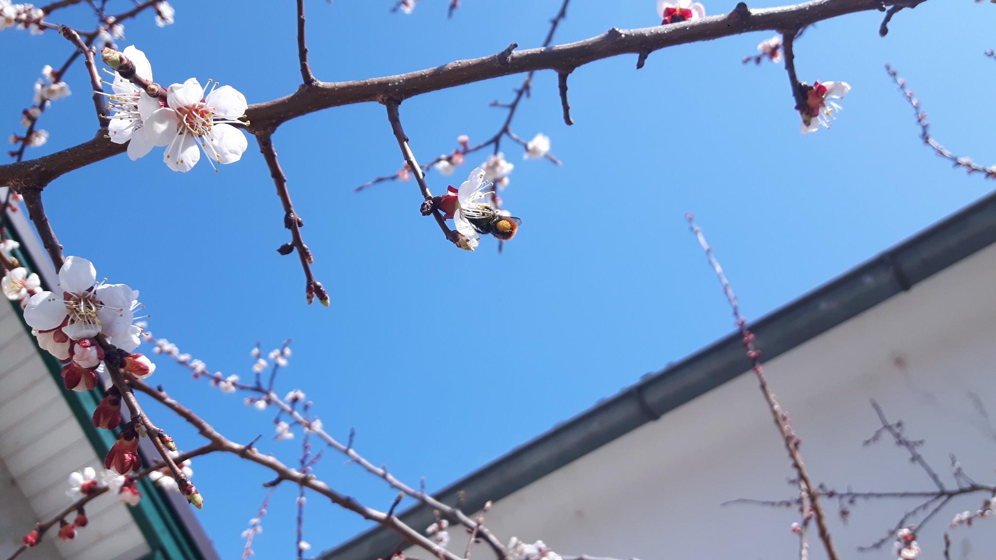 Marillenblüte mit Mauerbiene