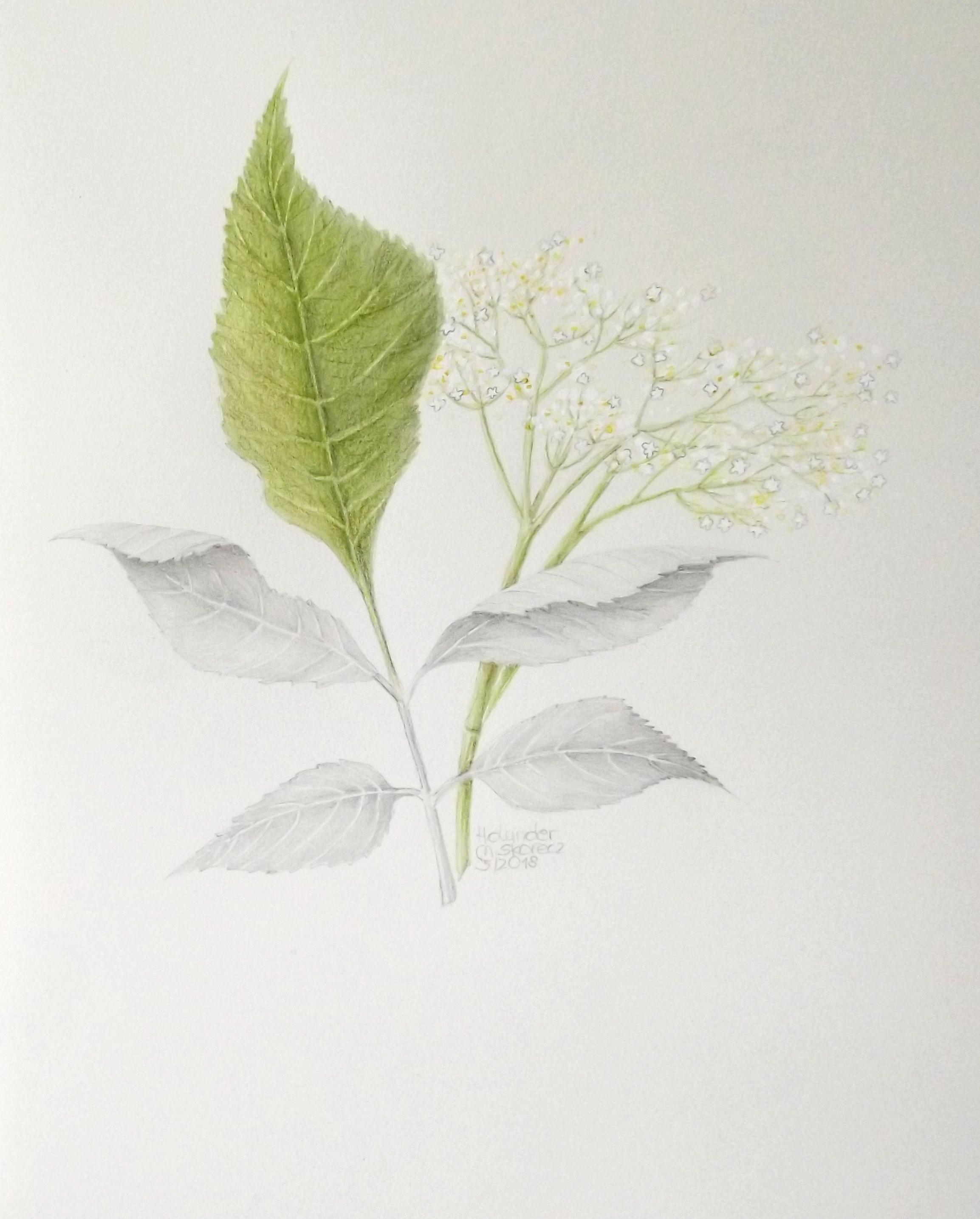 handzeichnung eines Holunder blatt und Blüte