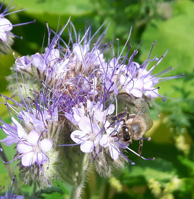 Eine Stadtmauerhonig Biene sammelt fleissig den Nektar der Phacelia Blüten