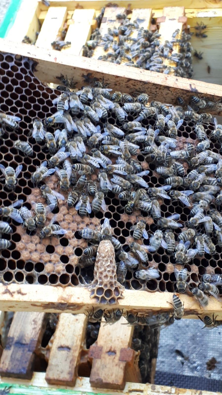 Königinnenzucht braucht Weiselzellen auf Bienenrähmchen